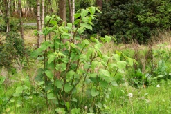 Japanese Knotweed; The dangers for property owners, occupiers and advisors